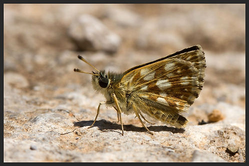 Spialia-orbifer--orbed-red-underwing-skipper | PTKbutterflies