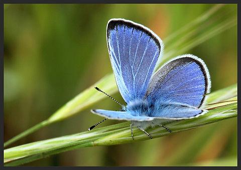 Glaucopsyche-alexis-green-underside-blue   PTKbutterflies