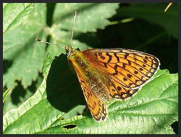 Boloria-eunomia-bog-fritillary | PTKbutterflies