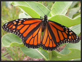 Danaus-plexippus-the-monarch-butterfly- | PTKbutterflies