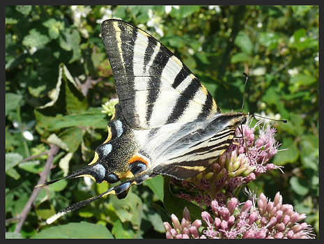 Iphiclides-feisthamelii-southern-scarce-swallowtail | PTKbutterflies