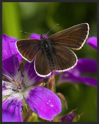 Aricia-eumedon-geranium-argus | PTKbutterflies