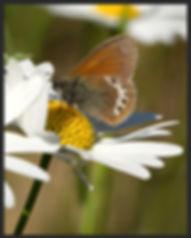 Coenonympha-gardetta-alpine-heath-   PTKbutterflies