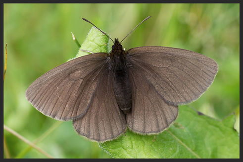Erebia-manto-yellow-spotted-ringlet-constans- | PTKbutterflies