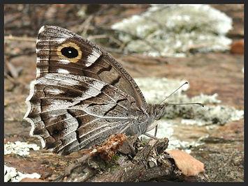 Hipparchia-fidia-striped-grayling | PTKbutterflies