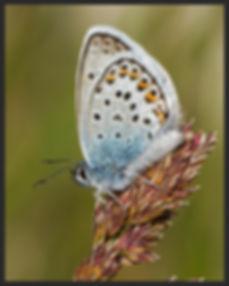 Plebejus-argus-silver-studded-blue   PTKbutterflies