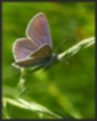 Polyommatus-semiargus-mazarine-blue   PTKbutterflies