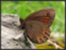Erebia-medusa-woodland-ringlet   PTKbutterflies
