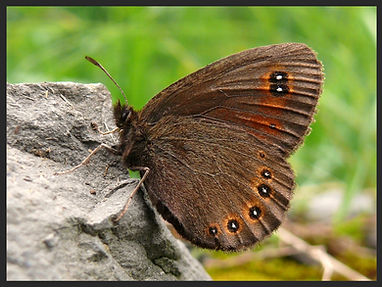 Erebia-medusa-woodland-ringlet | PTKbutterflies