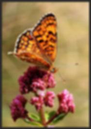Melitaea-phoebe-knapweed-fritillary | PTKbutterflies