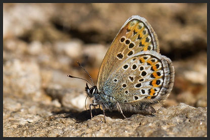 Plebejus-argus-silver-studded-blue | PTKbutterflies