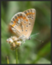 Aricia-cramera-southern-brown-argus | PTKbutterflies