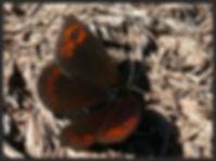 Erebia-triaria-de-prunners-ringlet- | PTKbutterflies