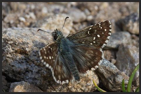 Pyrgus-carlinae--carline-skipper | PTKbutterflies