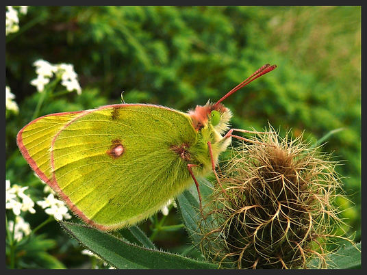 Colias-phicomone-mountain-clouded-yellow | PTKbutterflies