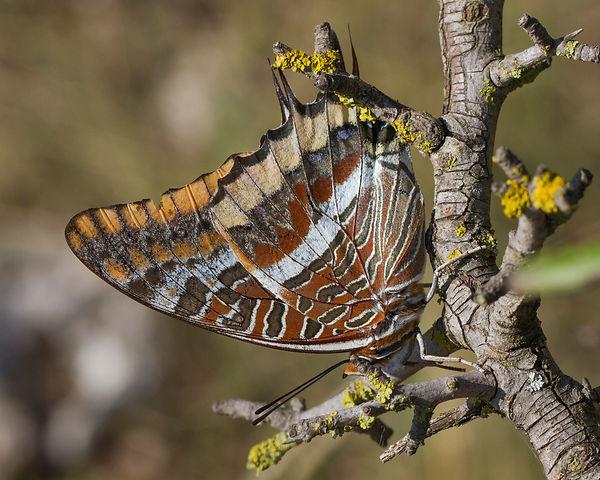 Charaxes-jasius-Two-tailed-Pasha | PTKbutterflies