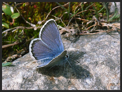 Plebejus-idas-idas-blue | PTKbutterflies