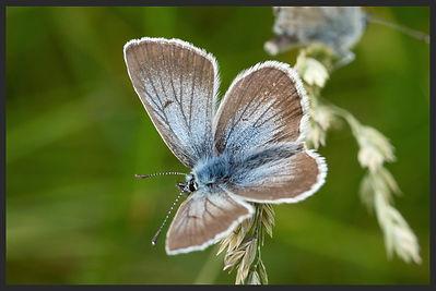 Aricia-nicias-silvery-argus | PTKbutterflies