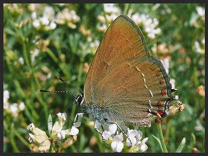 Satyrium-esculi-false-ilex-hairstreak | PTKbutterflies