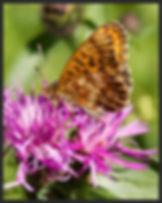 Boloria-thore-thors-fritillary   PTKbutterflies