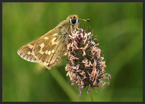 Hesperia-comma-silver-spotted-skipper   PTKbutterflies