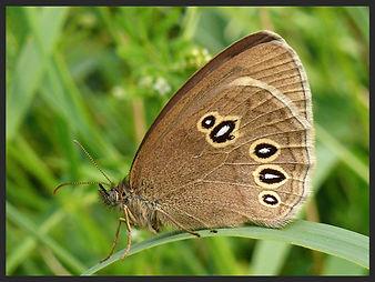 Aphantopus-hyperantus-the-ringlet-ab-lanceolata | PTKbutterflies