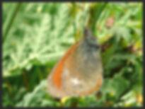 Coenonympha-glycerion-chestnut-heath | PTKbutterflies
