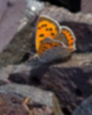 Lycaena-phlaeas-polaris-small-copper | PTKbutterflies