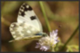 Pontia-edusa-eastern-bath-white | PTKbutterflies