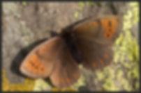 Erebia-pandrose-dewy-ringlet | PTKbutterflies