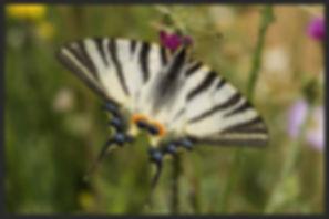 Iphiclides-podalirius-scarce-swallowtail | PTKbutterflies