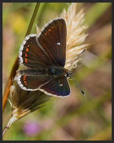 Aricia-artaxerxes-mountain-argus | PTKbutterflies