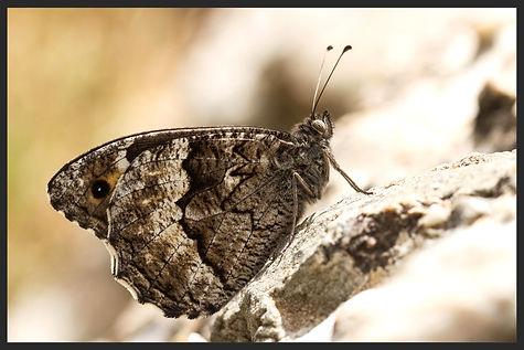 Hipparchia-syriaca-eastern-rock-grayling | PTKbutterflies