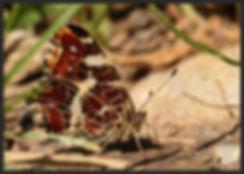 Araschnia-levana-map-butterfly- | PTKbutterflies