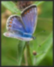 Polyommatus-icarus-common-blue | PTKbutterflies