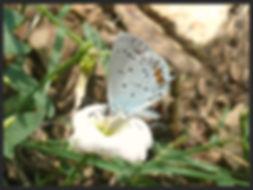 Everes-argiades-short-tailed-blue | PTKbutterflies