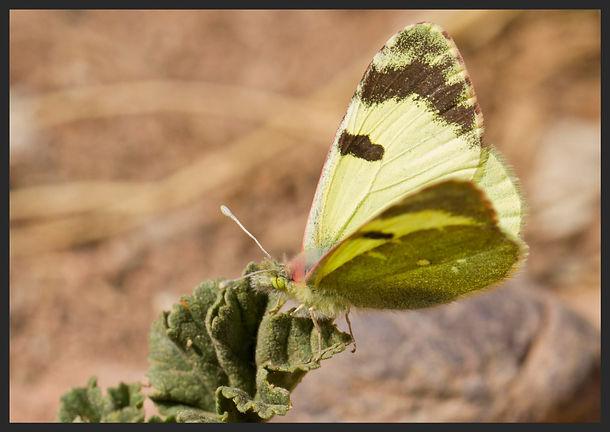 Elphinstonia-charlonia-greenish-black-ti | PTKbutterflies