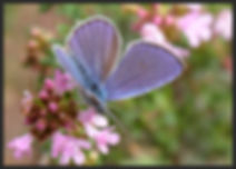 Cupido-osiris-osiris-blue   PTKbutterflies