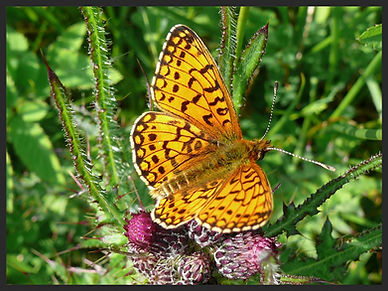 Boloria-selene-small-pearl-bordered-frit | PTKbutterflies
