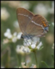 Satyrium-spini-blue-spot-hairstreak | PTKbutterflies