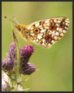 Boloria-selene-small-pearl-bordered-frit   PTKbutterflies