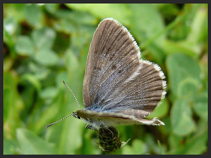 Phengaris-rebeli-mountain-alcon-blue | PTKbutterflies