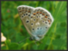 Polyommatus-thersites-chapmans-blue | PTKbutterflies