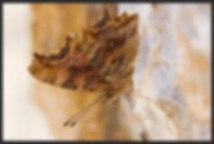 Nymphalis-egea-southern-comma | PTKbutterflies