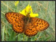Brethnis-ino-lesser-marbled-fritillary-b   PTKbutterflies