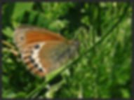 Coenonympha-gardetta-alpine-heath- | PTKbutterflies