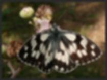 Melanargia-galathea-marbled-white | PTKbutterflies