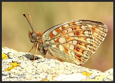 Argynnis-niobe-niobe-fritillary | PTKbutterflies
