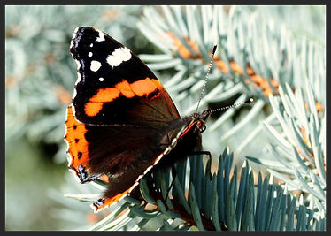 Vanessa-atalanta-red-admiral | PTKbutterflies