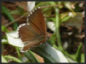 Cacyreus-marshalli-geranium-bronze | PTKbutterflies